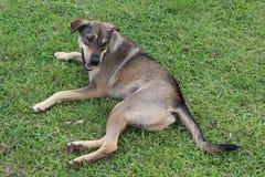 Il cane marrone si riposa su erba verde fotografia stock libera da diritti