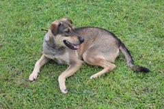 Il cane marrone si riposa su erba verde fotografia stock