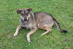 Il cane marrone si riposa su erba verde immagine stock libera da diritti