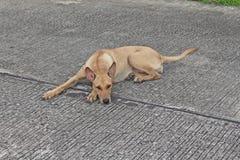 Il cane marrone si riposa su terra immagine stock