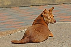 Il cane marrone si riposa su terra immagine stock libera da diritti