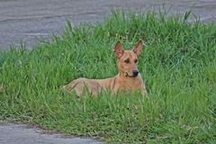 Il cane marrone si riposa su terra fotografie stock libere da diritti