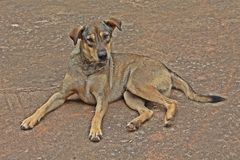 Il cane marrone si riposa su terra immagini stock libere da diritti