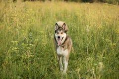 Il cane nel campo Fotografie Stock Libere da Diritti