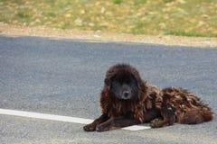 Il cane nel Tibet Immagini Stock Libere da Diritti