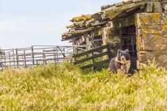 Il cane nell'azienda agricola a Santiago fa Cacem Immagine Stock Libera da Diritti