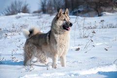 Il cane nella foresta di inverno Fotografia Stock Libera da Diritti