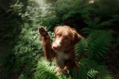 Il cane nella foresta si siede in una felce Animale domestico sulla natura Toller Immagine Stock