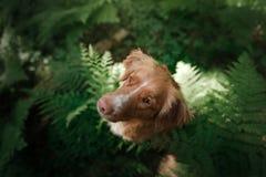 Il cane nella foresta si siede in una felce Animale domestico sulla natura Toller Fotografia Stock Libera da Diritti