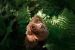 Il cane nella foresta si siede in una felce Animale domestico sulla natura Toller Immagine Stock Libera da Diritti