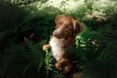 Il cane nella foresta si siede in una felce Animale domestico sulla natura Toller Immagini Stock
