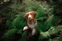 Il cane nella foresta si siede in una felce Animale domestico sulla natura Toller Fotografie Stock Libere da Diritti