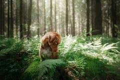 Il cane nella foresta si siede in una felce Animale domestico sulla natura Toller Fotografia Stock