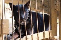 Il cane nero è stato lasciato nella gabbia. Fotografie Stock