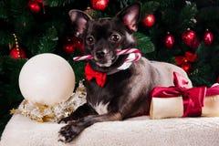 Il cane nero con il Natale disossa il regalo con l'albero di Natale Immagini Stock