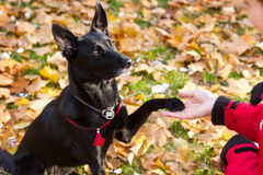 Il cane nero dà la zampa per una donna Fotografia Stock