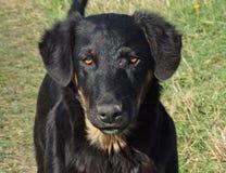 Il cane nero della razza sconosciuta Fotografia Stock Libera da Diritti