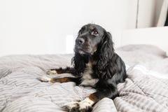 Il cane nero dello spaniel sul cappotto decorativo del tessuto grigio ed i cuscini per uno stile scandinavo inseriscono in Camera immagine stock