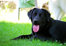 Il cane nero di labrador sta rilassandosi al giardino Fotografia Stock