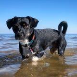 Il cane nero sta in acque del lago Michigan immagini stock
