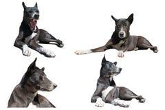 Il cane nero in Tailandia Immagini Stock Libere da Diritti