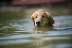 Il cane nuota alla destra della macchina fotografica Fotografia Stock Libera da Diritti