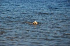 Il cane nuota il mare Fotografia Stock Libera da Diritti