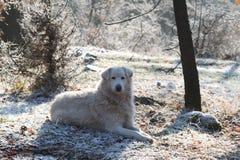 Il cane pastore di maremma sta custodicendo Fotografia Stock Libera da Diritti
