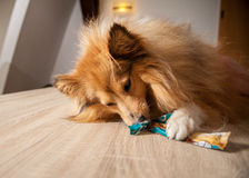 Il cane pastore di Shetland mastica su un ossequio del cane fotografia stock libera da diritti
