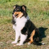 Il cane pastore di Shetland, Sheltie, Collie Puppy Outdoor Fotografia Stock