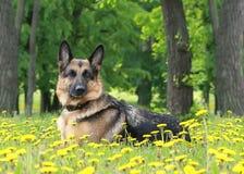 Il cane, pastore tedesco si trova in denti di leone immagini stock