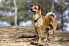 Il cane per una passeggiata Fotografie Stock Libere da Diritti