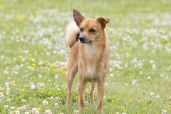 Il cane per una passeggiata Fotografia Stock