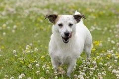 Il cane per una passeggiata Fotografia Stock Libera da Diritti