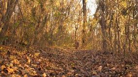 Il cane persegue la preda, funzionamenti lungo la traccia nella foresta di autunno, movimento lento del cane da caccia stock footage
