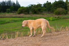 Il cane piega tailandese monta la guardia Fotografia Stock