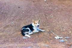 Il cane piega tailandese monta la guardia Fotografia Stock Libera da Diritti