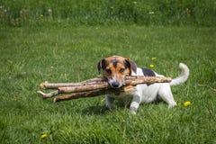 Il cane porta la legna da ardere attraverso il prato immagine stock