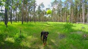Il cane prende la palla in volo nella foresta video d archivio