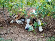 Il cane randagio è stanco e dorme sotto i cespugli di rose a Salonicco, Grecia fotografie stock libere da diritti