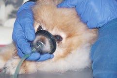 Il cane respira attraverso la maschera di ossigeno fotografia stock libera da diritti