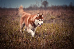 Il cane rosso del husky siberiano funziona nel prato di primavera Fotografia Stock Libera da Diritti