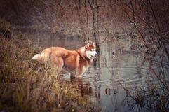 Il cane rosso del husky siberiano sta in acqua il ruscello nel prato di primavera Fotografia Stock