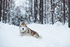 Il cane rosso e bianco del husky sta trovandosi sulla neve nella foresta dell'inverno immagine stock libera da diritti