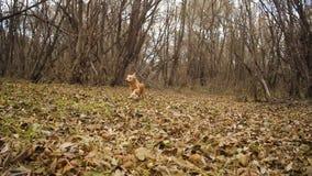 Il cane rosso funziona lungo le foglie di autunno in parco archivi video