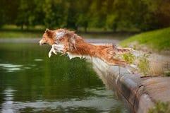 Il cane salta nell'acqua Fotografie Stock Libere da Diritti