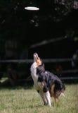 Il cane salta per il disco del frisbee Immagini Stock