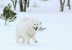 Il cane samoiedo bianco allegro funziona nella foresta dell'inverno Immagini Stock