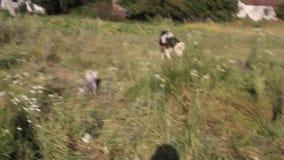 Il cane scorteccia al piccolo toro stock footage