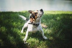 Il cane scuote l'acqua dopo il bagno nel fiume Fotografie Stock